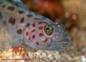 A leopard-spotted goby fish pictured by Jason Gregory